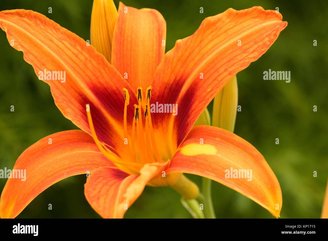 Tiger lily, Rojo Ridge Farms, Yamhill County, Oregon. Foto de stock