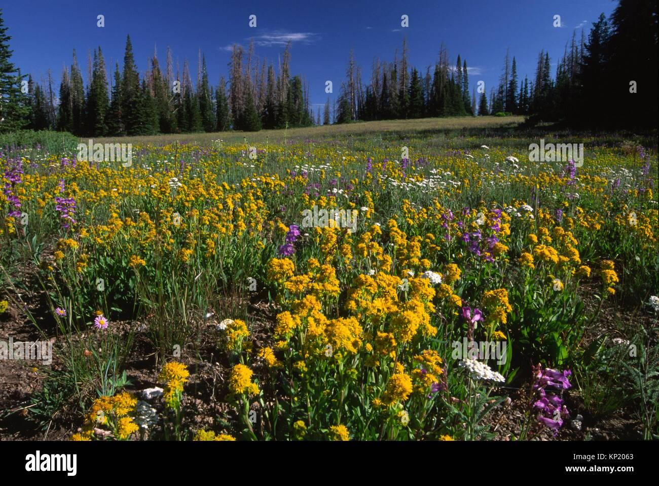 El Wildflower meadow, Cedar Breaks National Monument, Cedar Breaks Scenic desviación, Utah. Foto de stock