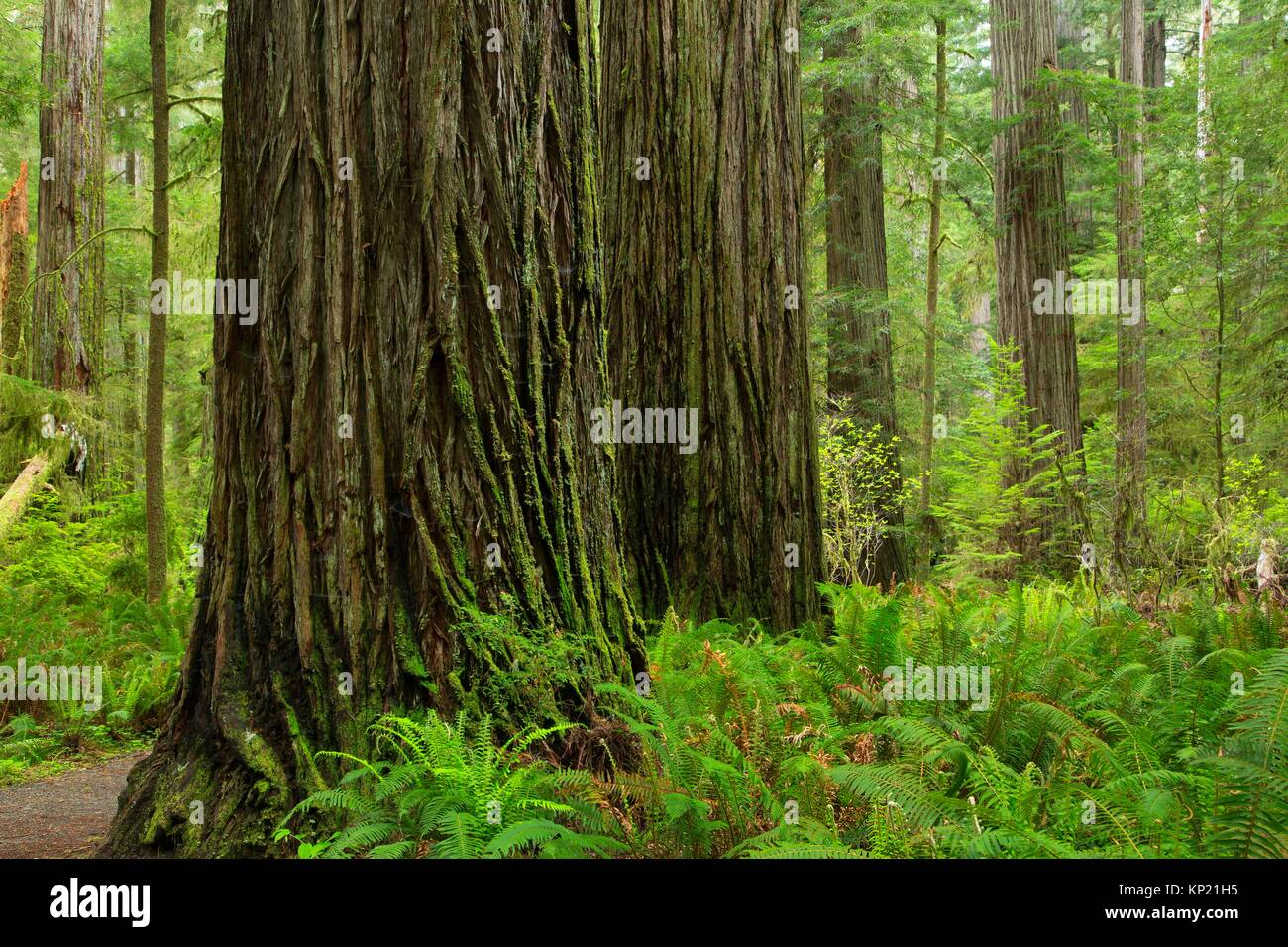 Costa redwood (Sequoia sempervirens) junto Simpson-Reed Discovery Trail, Jedediah Smith Redwoods State Park, el Foto de stock