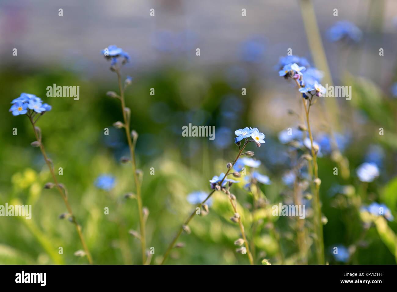 Las pequeñas flores azules de Forget-me-not (Myosotis), profundidad de campo y el fondo borroso, adecuado para Imagen De Stock