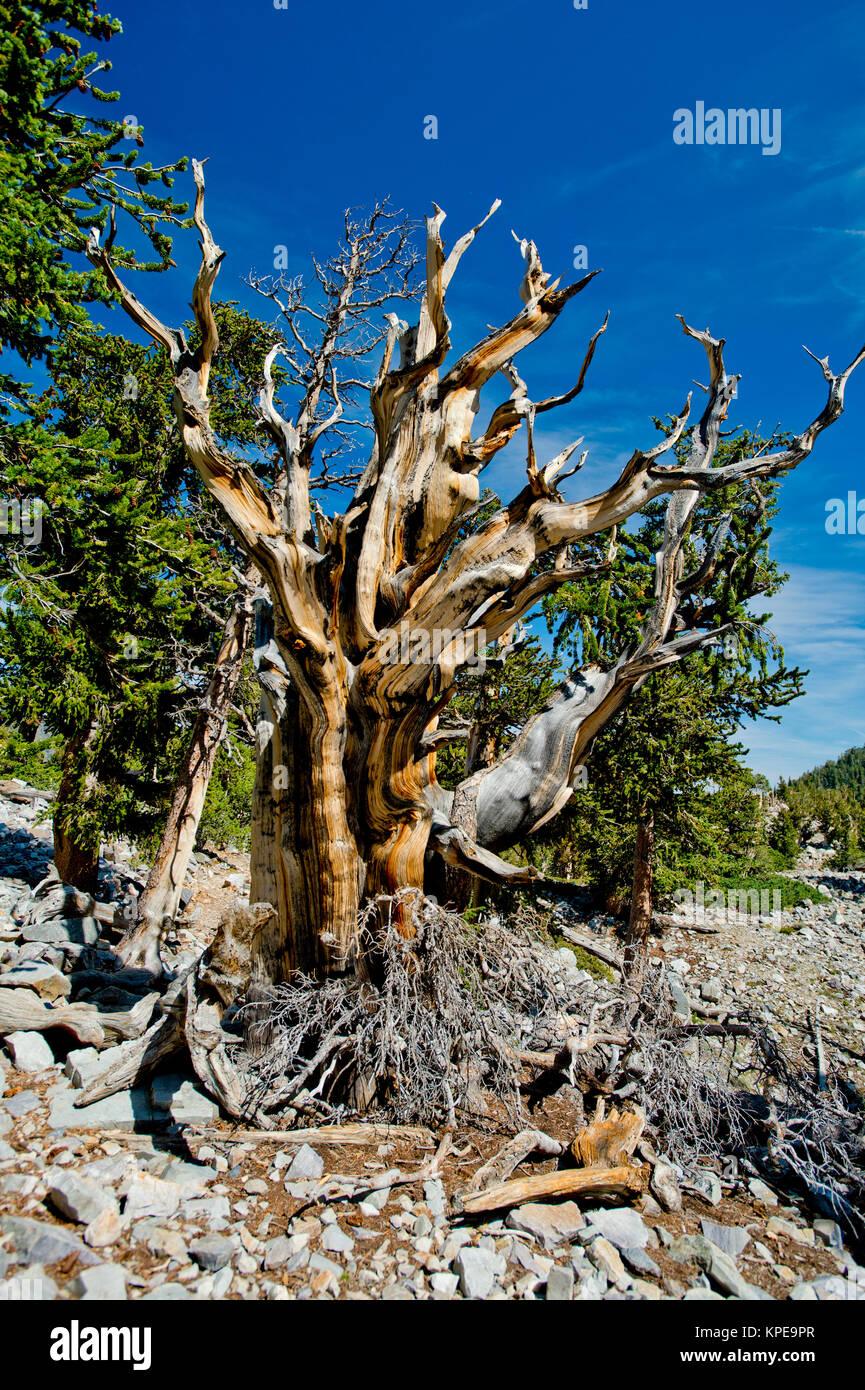 Pino bristlecone (Pinus longaeva) en el Parque Nacional de la Gran Cuenca Nevada. Más antiguas conocidas no clonal de organismo sobre la tierra. Foto de stock