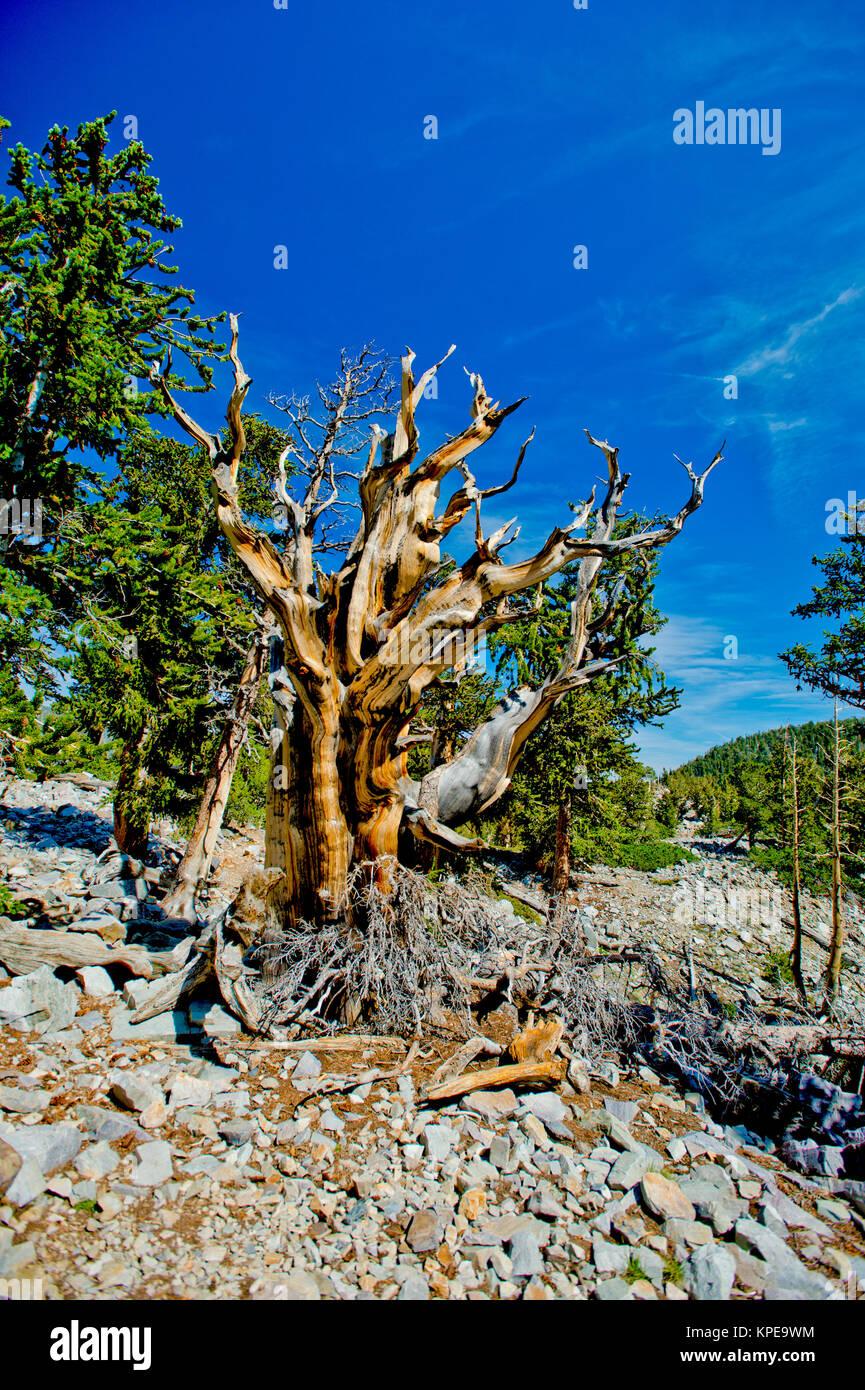 Pino bristlecone (Pinus longaeva) en el Parque Nacional de la Gran Cuenca Nevada. Más antiguas conocidas no clonal de organismo sobre la tierra Foto de stock