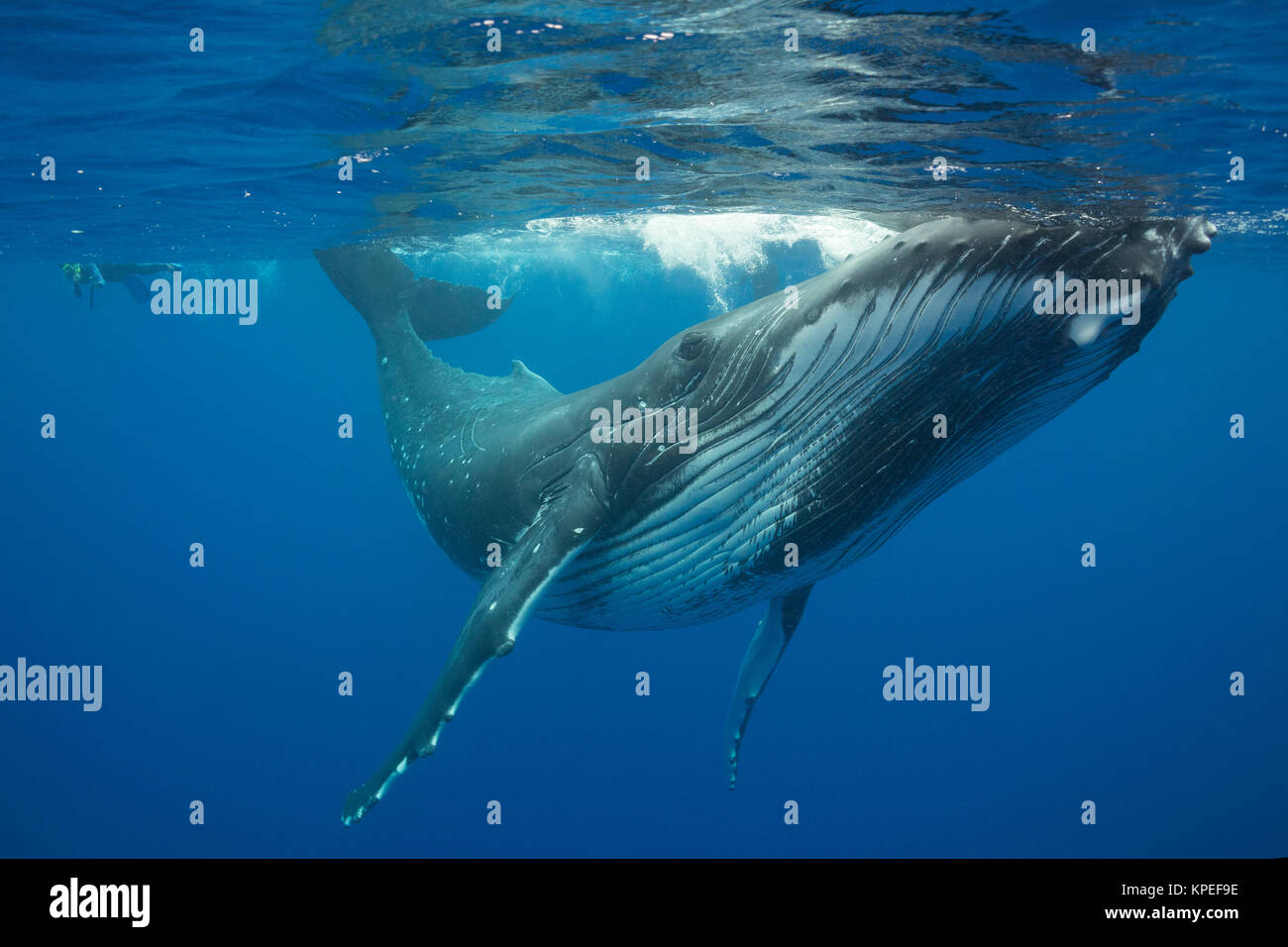 La ballena jorobada, Megaptera novaeangliae, y nadadores, Vava'u, Tonga, Pacífico Sur, MR 497 Foto de stock