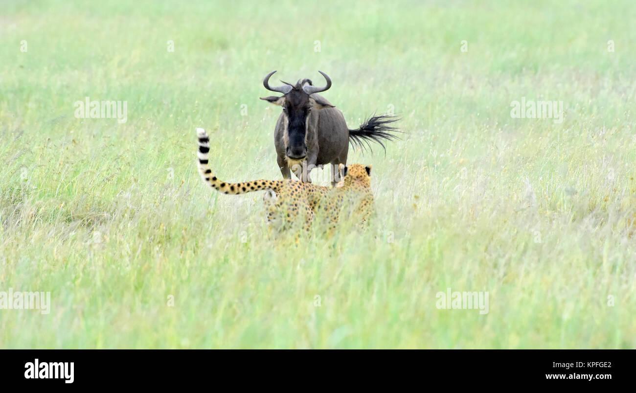 Turismo de vida silvestre en uno de los principales destinos de vida silvestre sobre earht -- Serengeti, Tanzania. Imagen De Stock