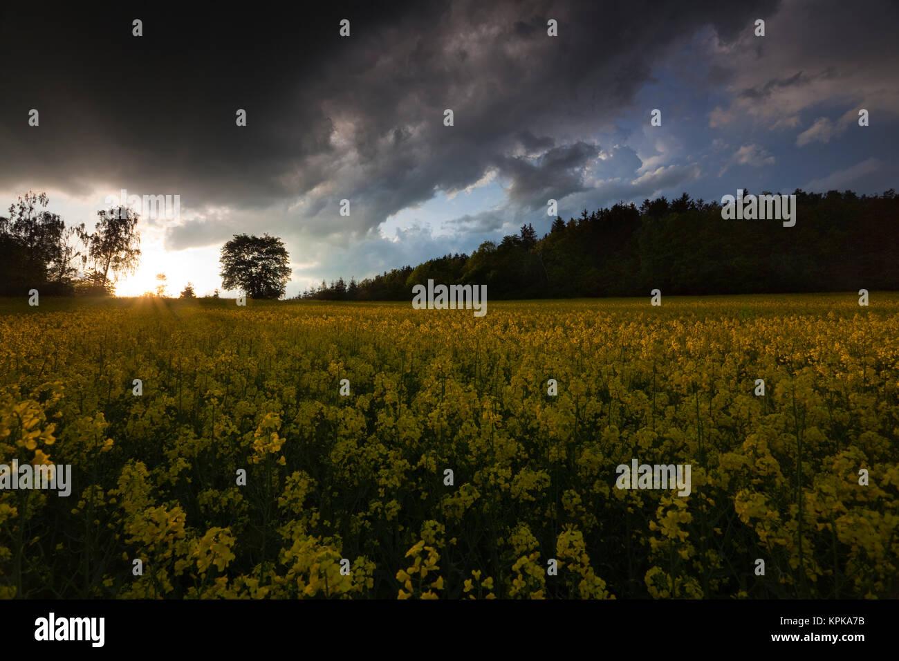 Blühende Rapsfelder mit langen Schatten und schönen Wolken Foto de stock