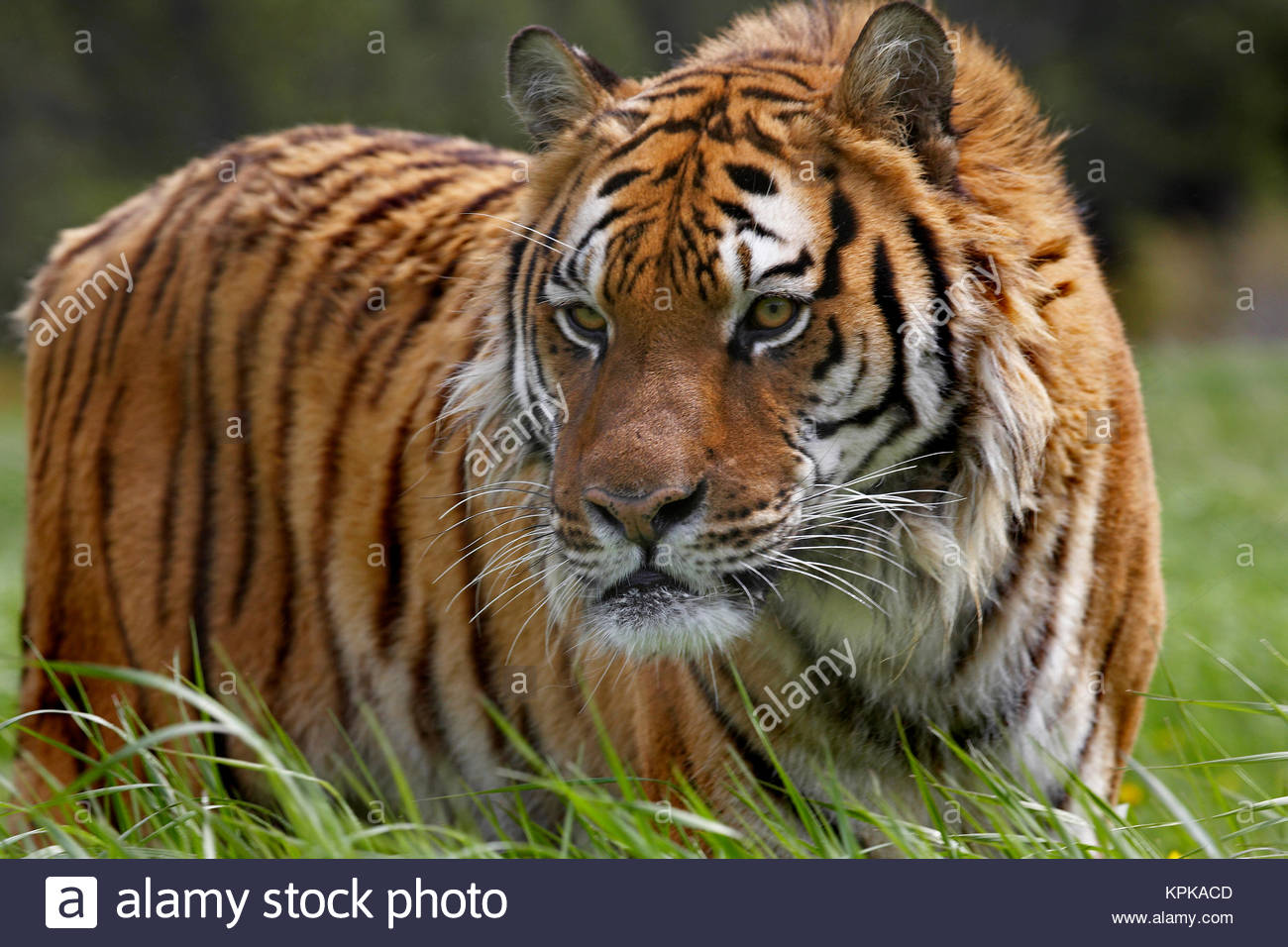 Tigre siberiano (Panthera tigris altaica). En cautiverio, Montana, EE.UU. Foto de stock