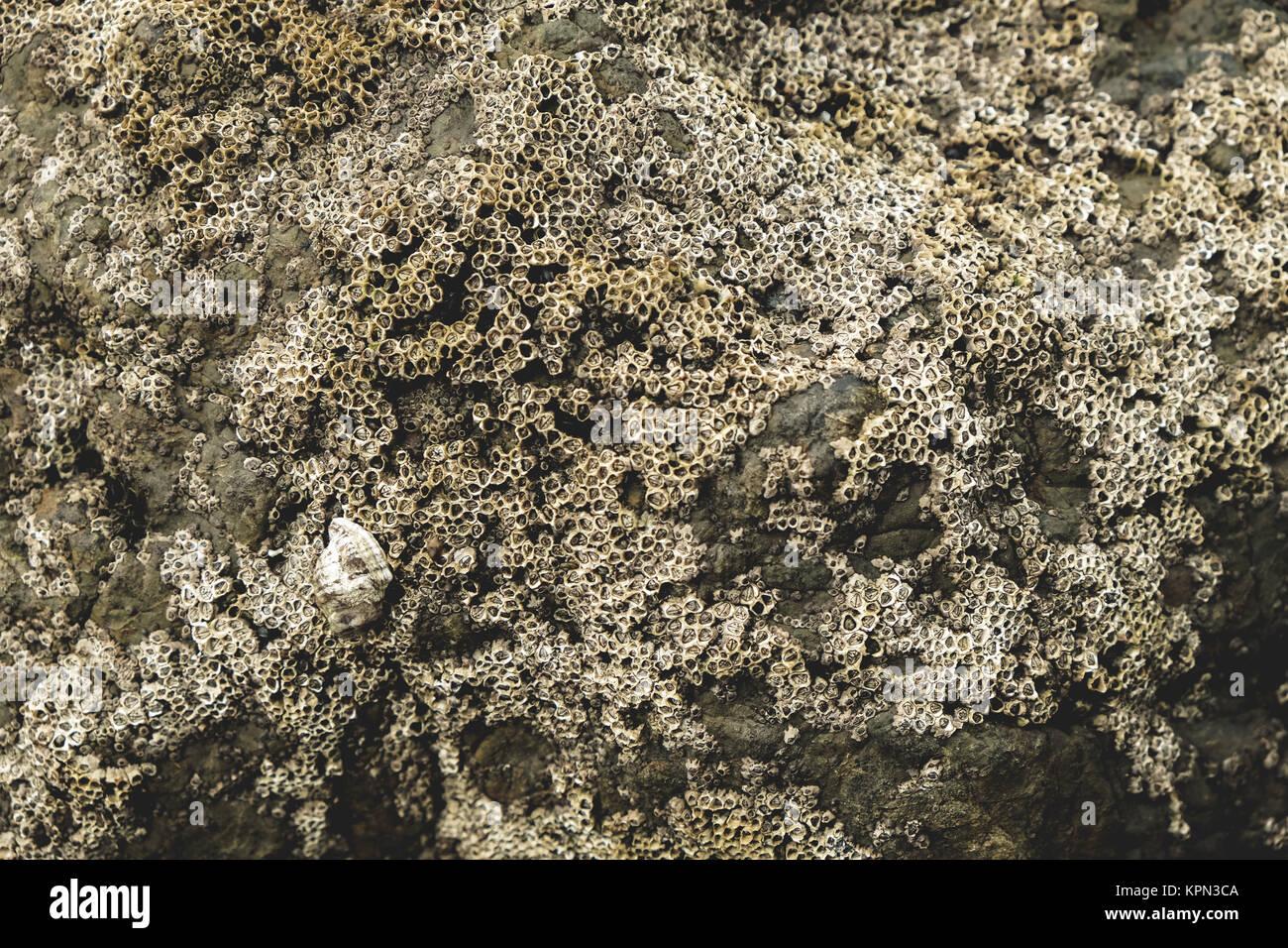 Percebe (Cirripedia) sobre una gran roca costera Shot Foto de stock