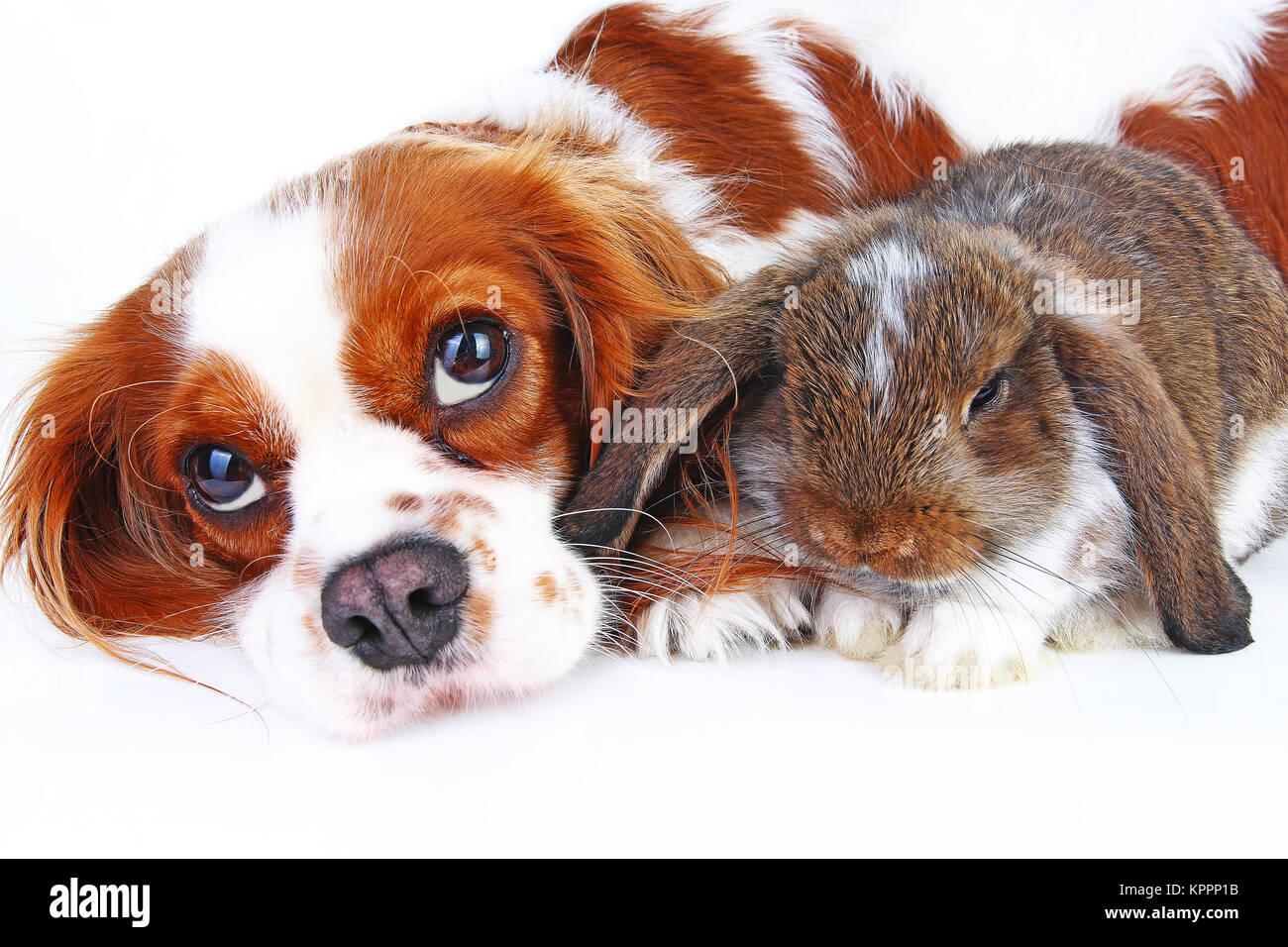Amigos de los animales. Verdaderos amigos de pet. Perro CONEJO conejo lop animales juntos sobre fondo blanco aisladas Imagen De Stock