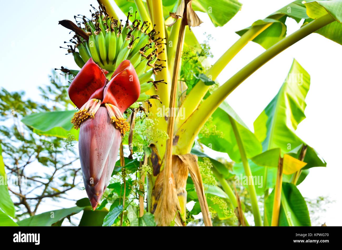 Flor De Banano En El Jardín Tailandia Fotografía De Stock Alamy