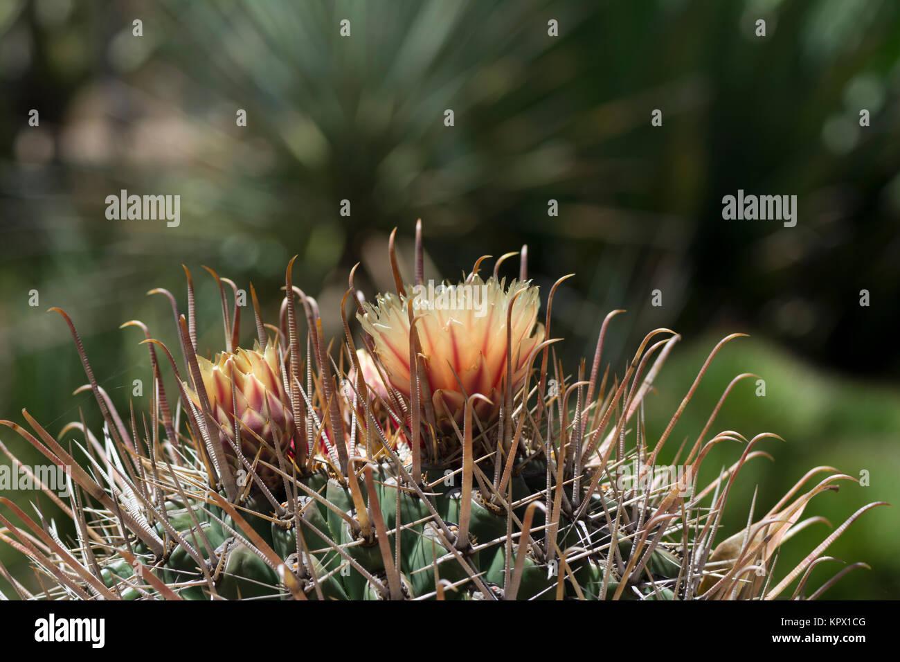 La parte superior de un ferocactus wislizeni, anzuelo barril cactus en flor, también conocido como barriles de Arizona y el suroeste de barril de caramelos, cactus de barril. Muy shal Foto de stock
