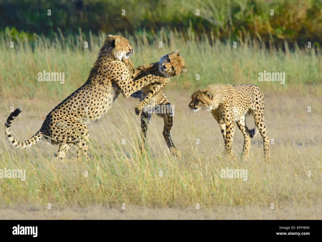 El parque transfronterizo Kgalagadi entre Sudáfrica y Botswana es el primer desierto para viewingplay wildlife Imagen De Stock