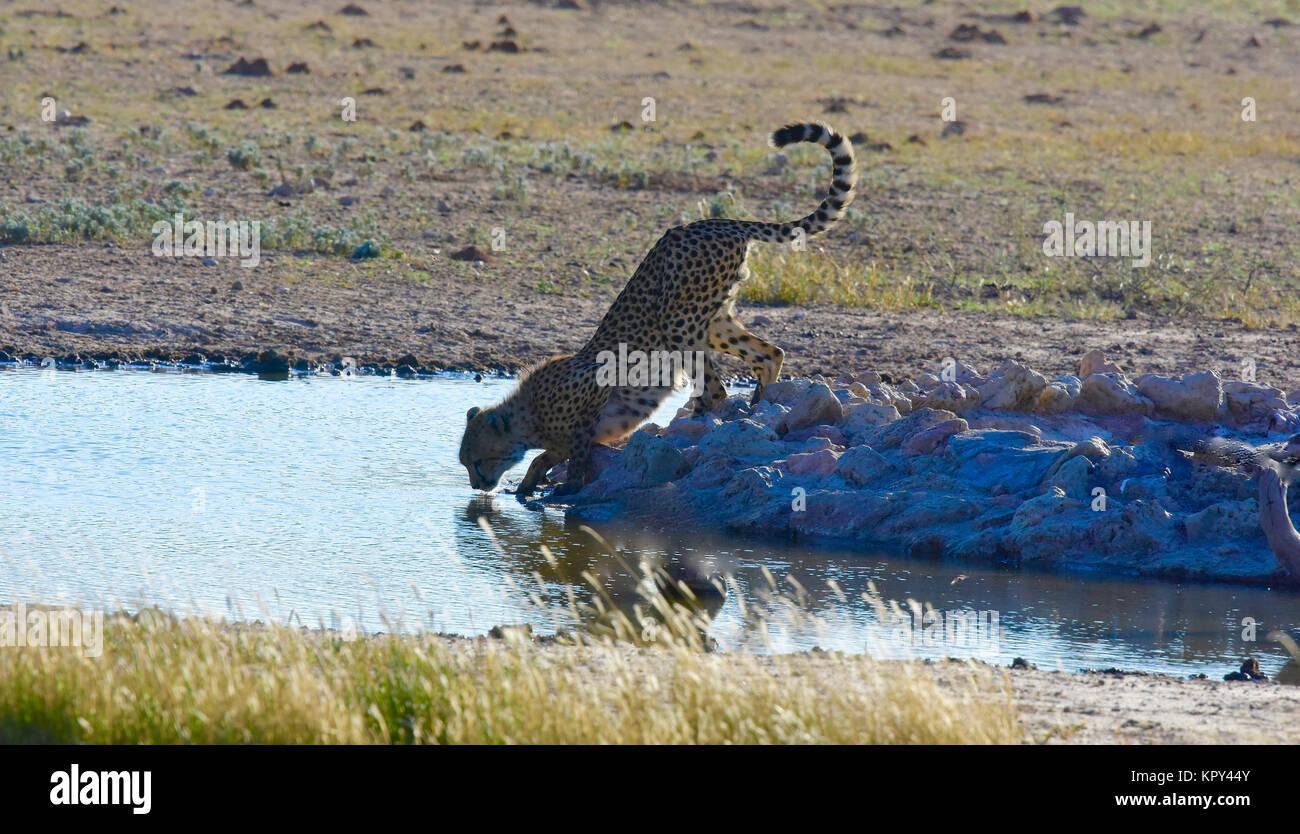 El parque transfronterizo Kgalagadi entre Sudáfrica y Botswana es el primer desierto de la tierra para ver Imagen De Stock