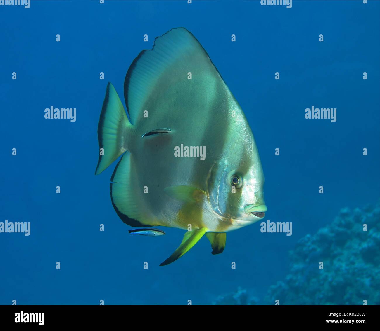 Pez murciélago habitual Platax orbicularis, Saint John?s Reef, el Mar Rojo, Egipto / Egipto, Gewoehnlicher Fledermausfisch (Platax orbicularis), Saint John's Riff Foto de stock