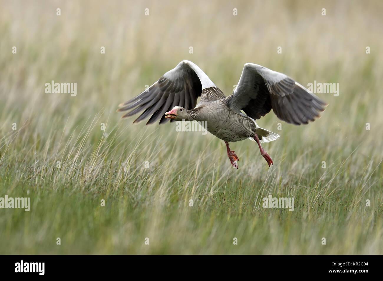 Graylag goose (Anser anser), llegando a través de la pradera, Parque Nacional Kiskunsag, Hungría Imagen De Stock