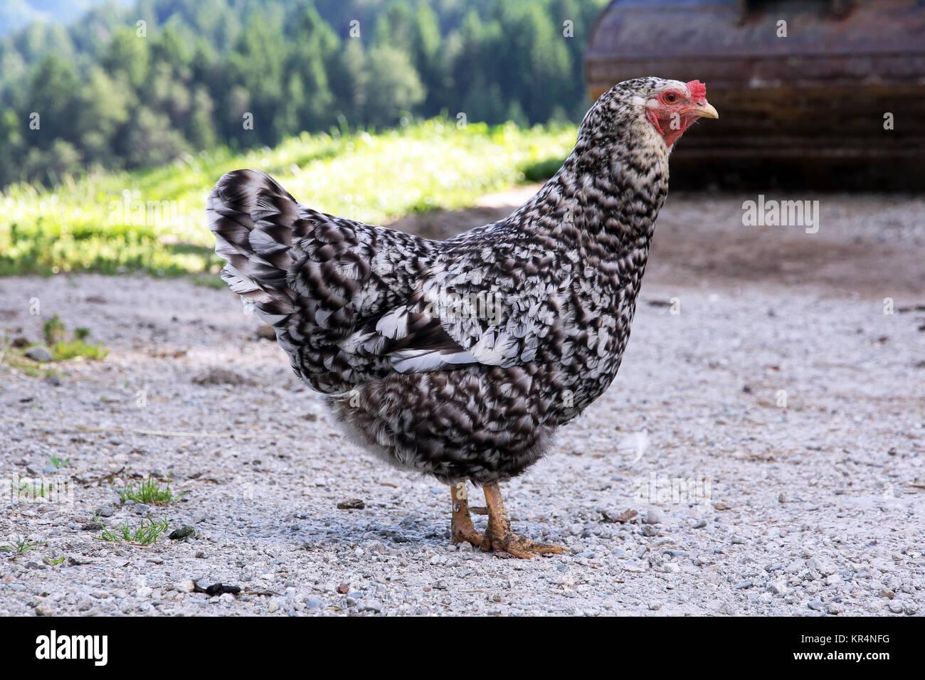 Un moteado blanco y negro pollo en free range Foto de stock