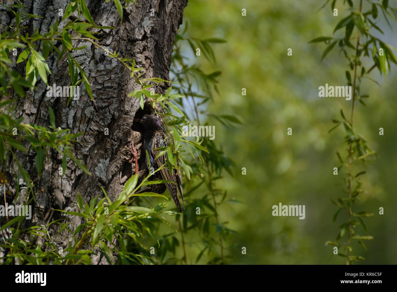 Songbird starling en su nido de árbol Foto de stock