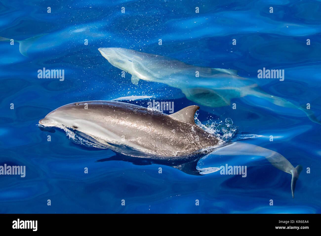 El delfín de Fraser (Lagenodelphis hosei) o el delfín de Sarawak acercándose al barco en grupo grande Imagen De Stock