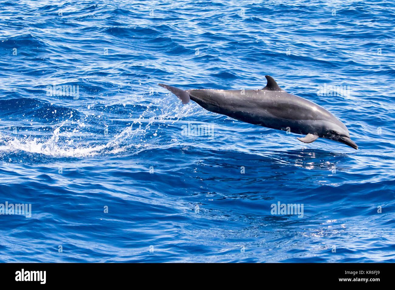 El Delfín Manchado Pantropical (Stenella attenuata) saltando y socializar cerca de nuestro barco Imagen De Stock