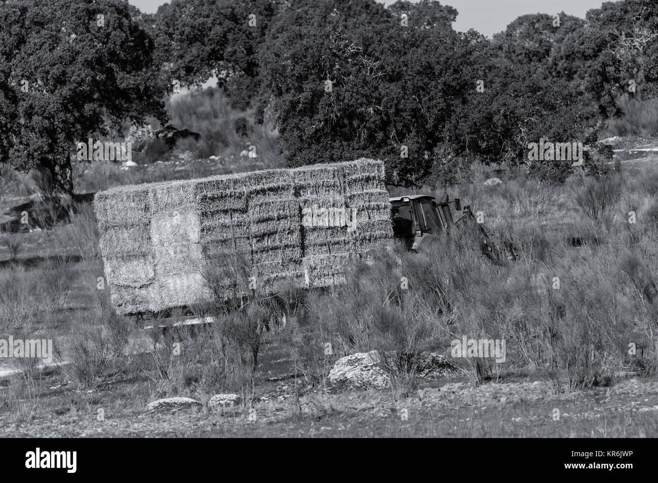 Tractor llevando una carga de pacas de paja para uso pecuario. Imagen De Stock