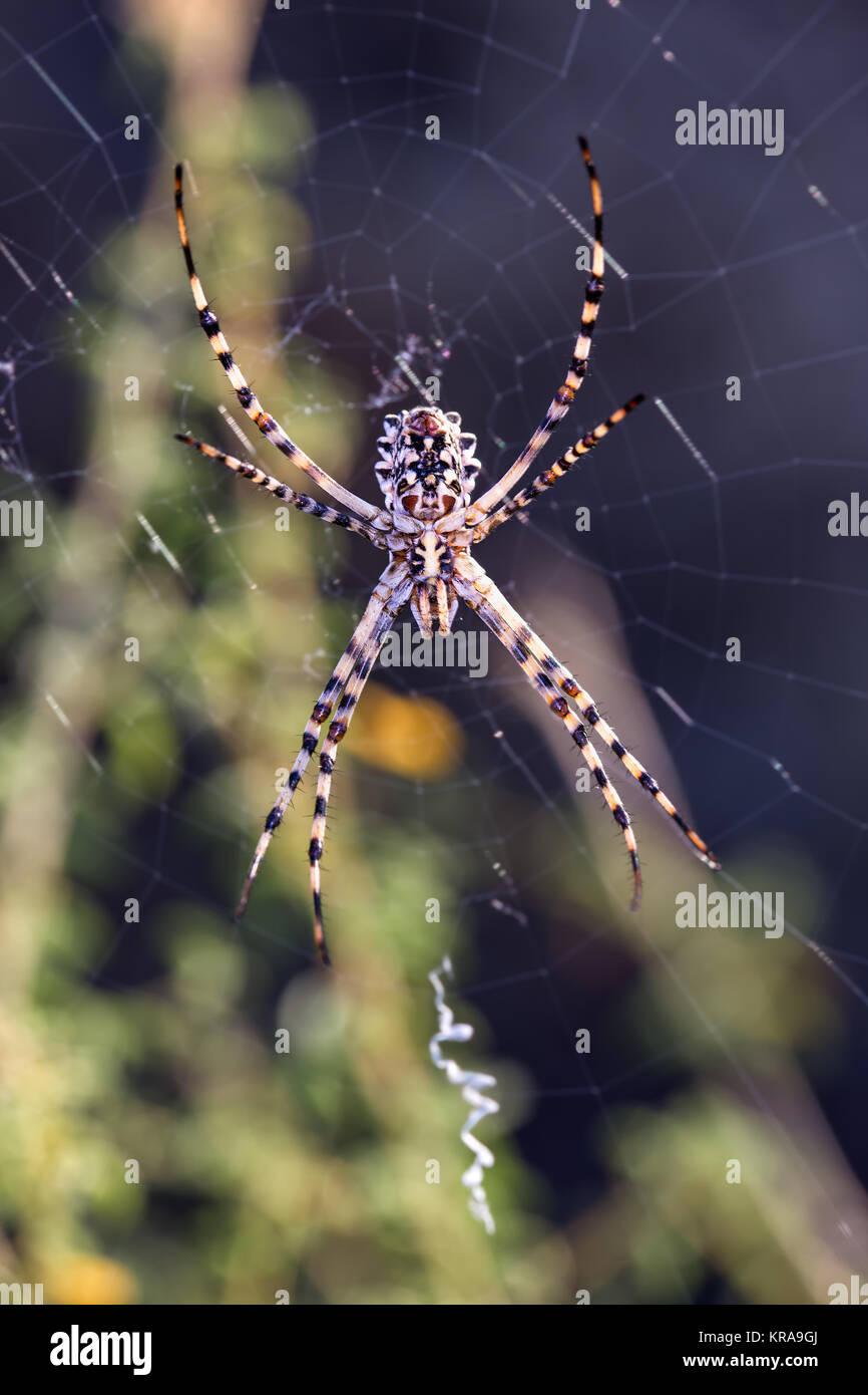Araña en su web . Araña fotografiados en su entorno natural. Imagen De Stock