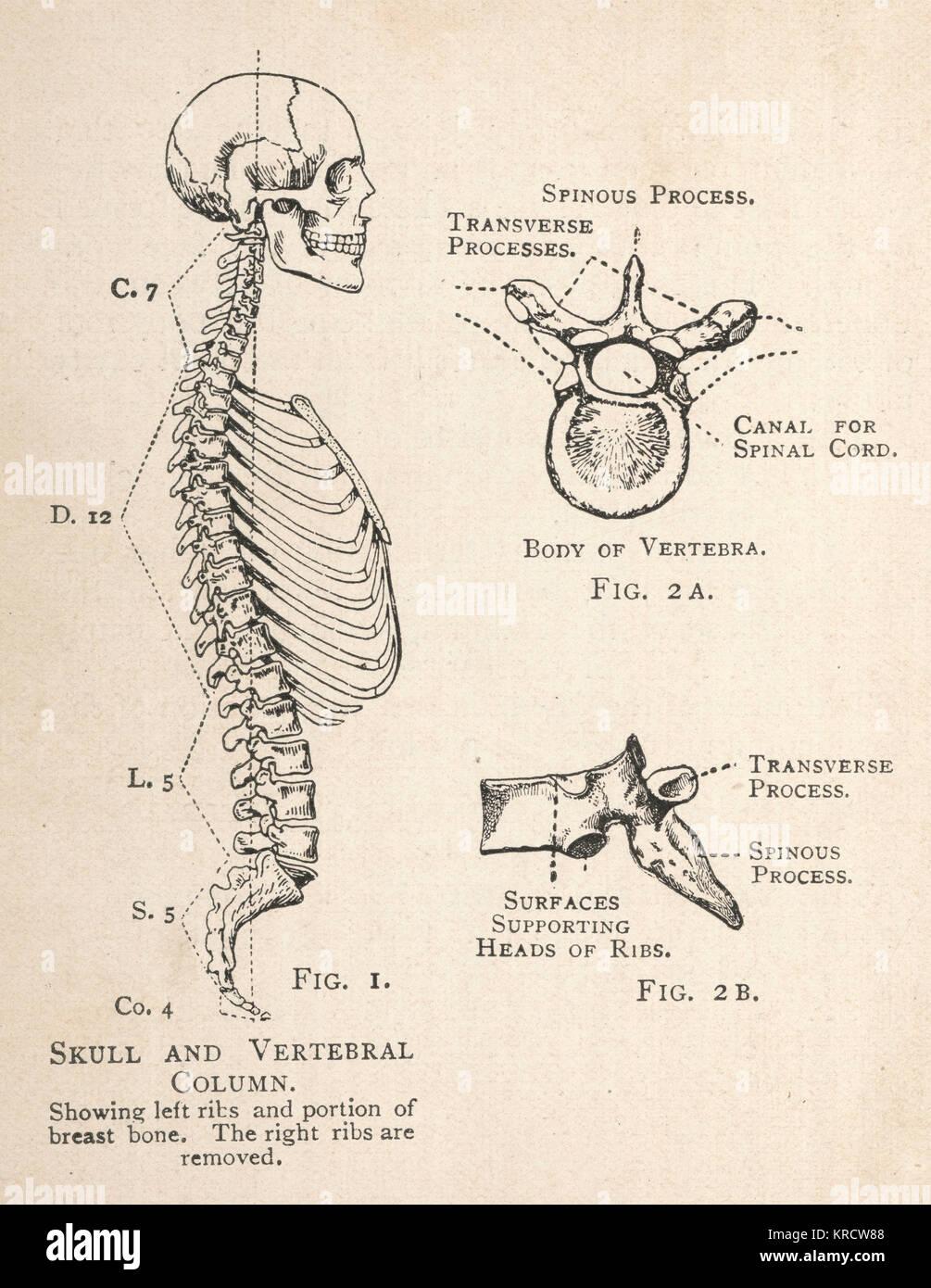 Un diagrama del cráneo y de la columna vertebral humana, mostrando ...