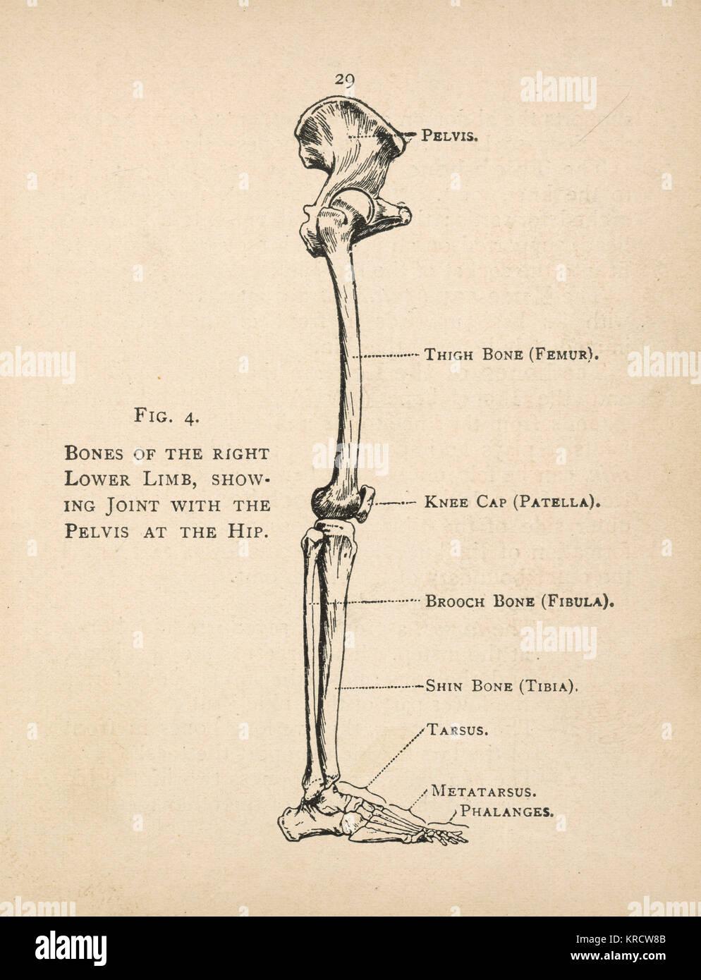 Human Femur Bone Imágenes De Stock & Human Femur Bone Fotos De Stock ...