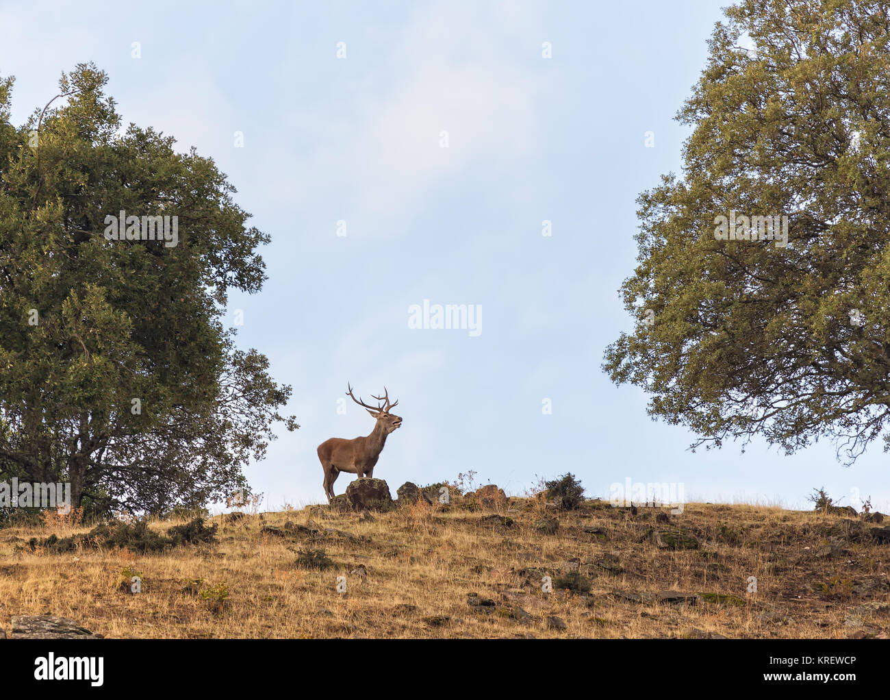 Deer gritando, llamando a las hembras en la época de apareamiento. Fotografiado en el Parque Nacional de Monfragüe. Imagen De Stock