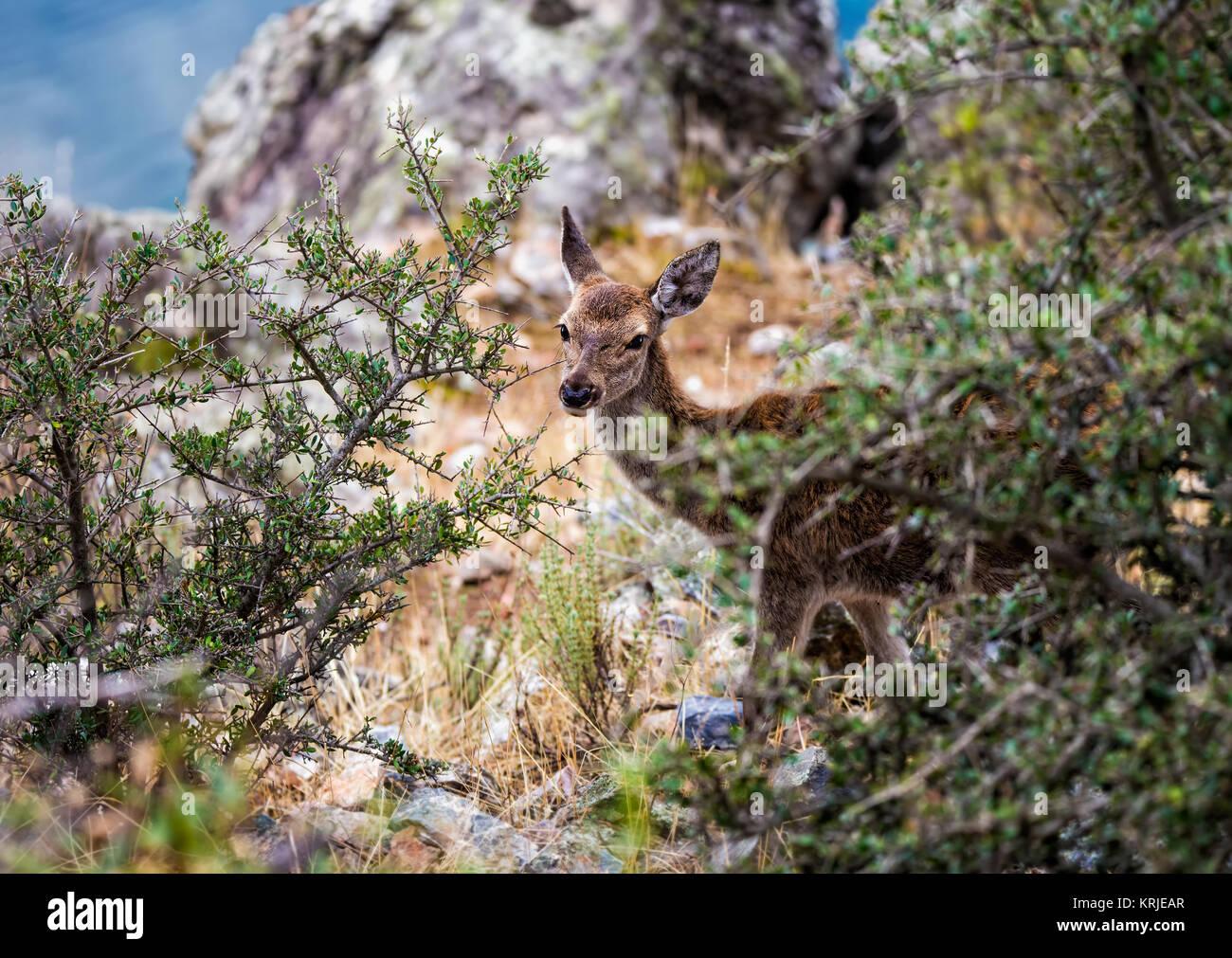 Pequeño cervatillo fotografiado en el Parque Nacional de Monfragüe. España. Imagen De Stock