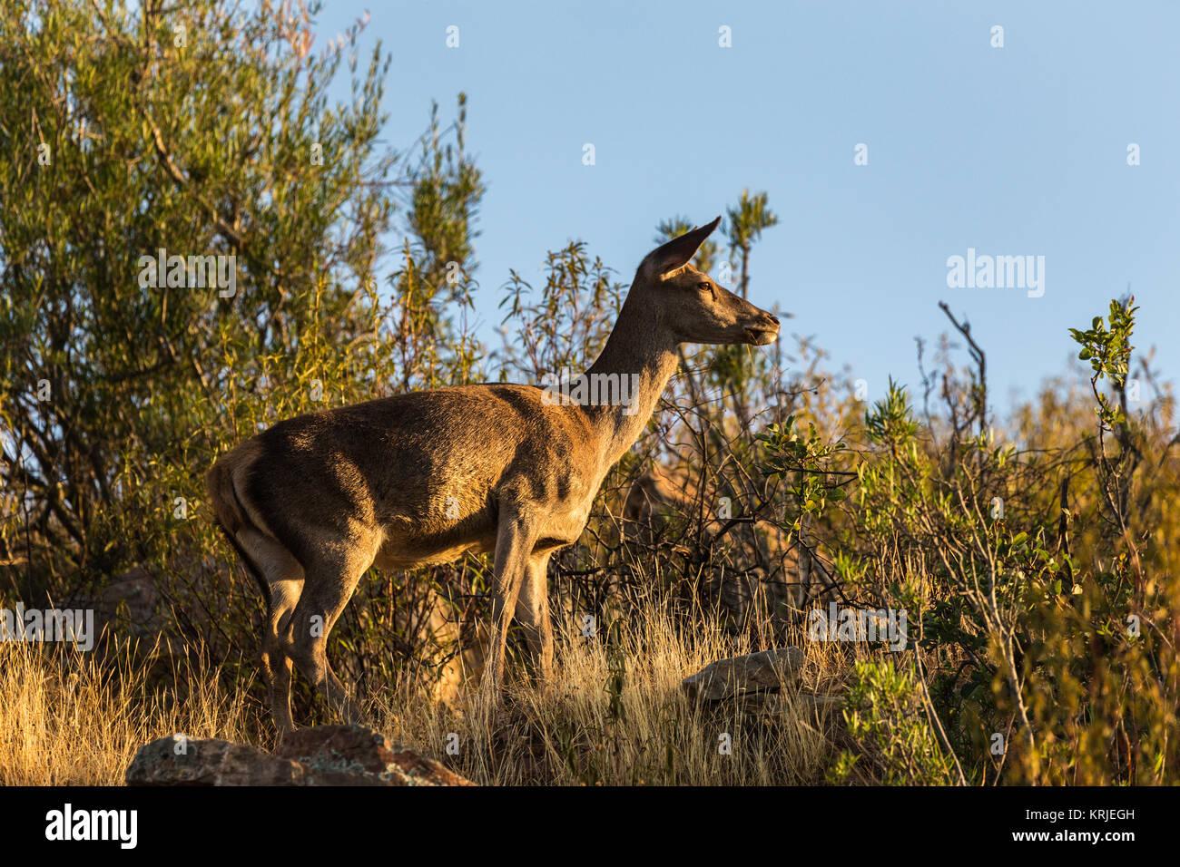 Ciervos en el Parque Nacional de Monfragüe. Extremadura. España. Imagen De Stock