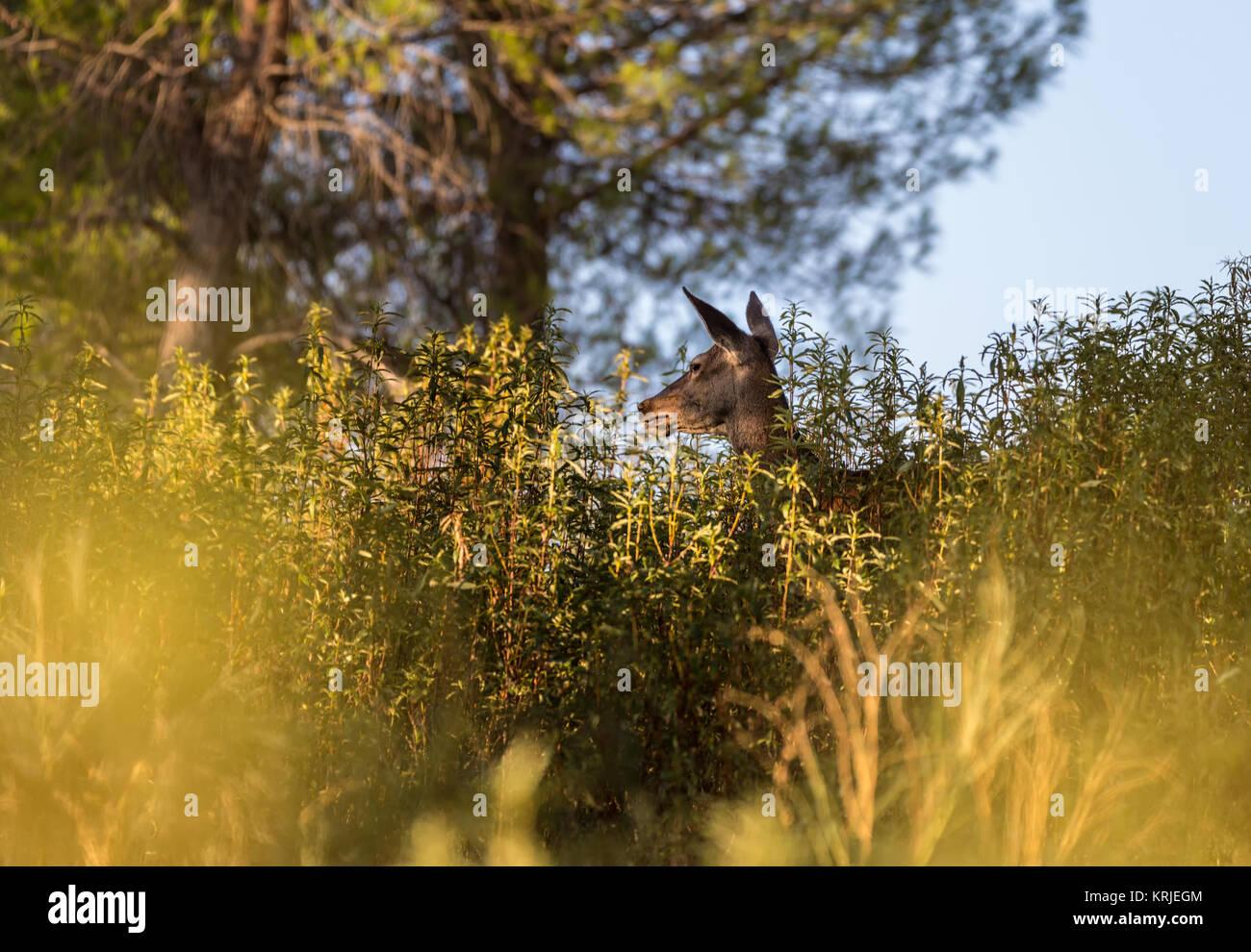 Hembra de ciervo escondidas entre la vegetación en un bosque de pinos. Imagen De Stock