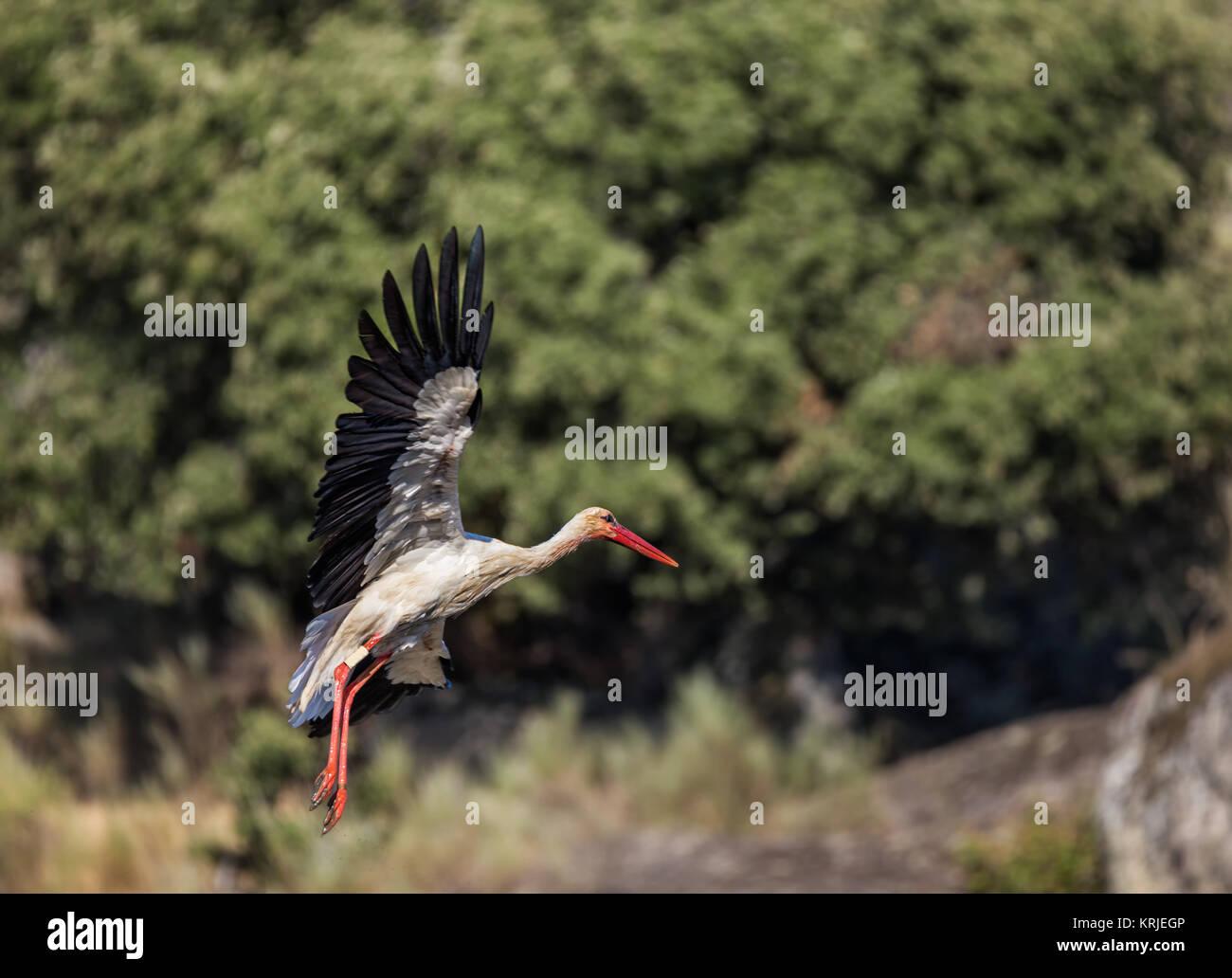 Stork fotografiados en su entorno natural. Imagen De Stock
