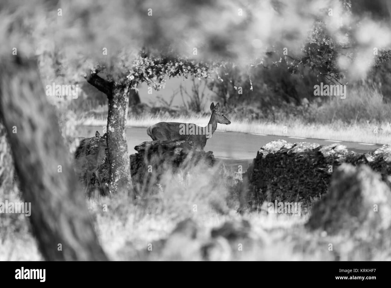 Cervatillos cerca de una carretera rural en el área natural de Granadilla. España. Imagen De Stock