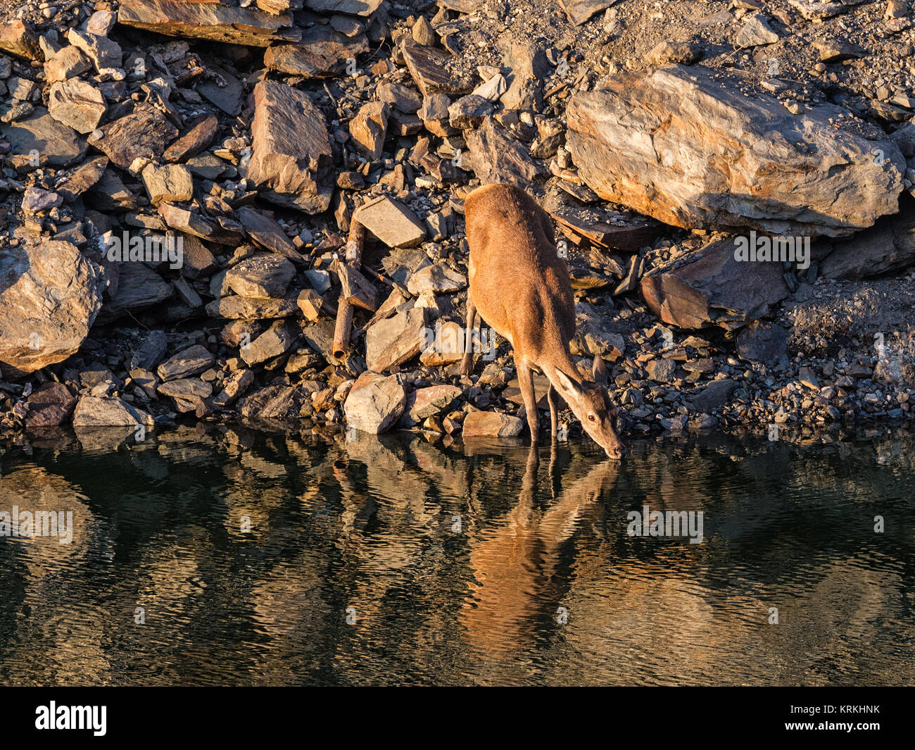 Ciervos bebiendo de un río. Parque Nacional de Monfragüe. España. Imagen De Stock
