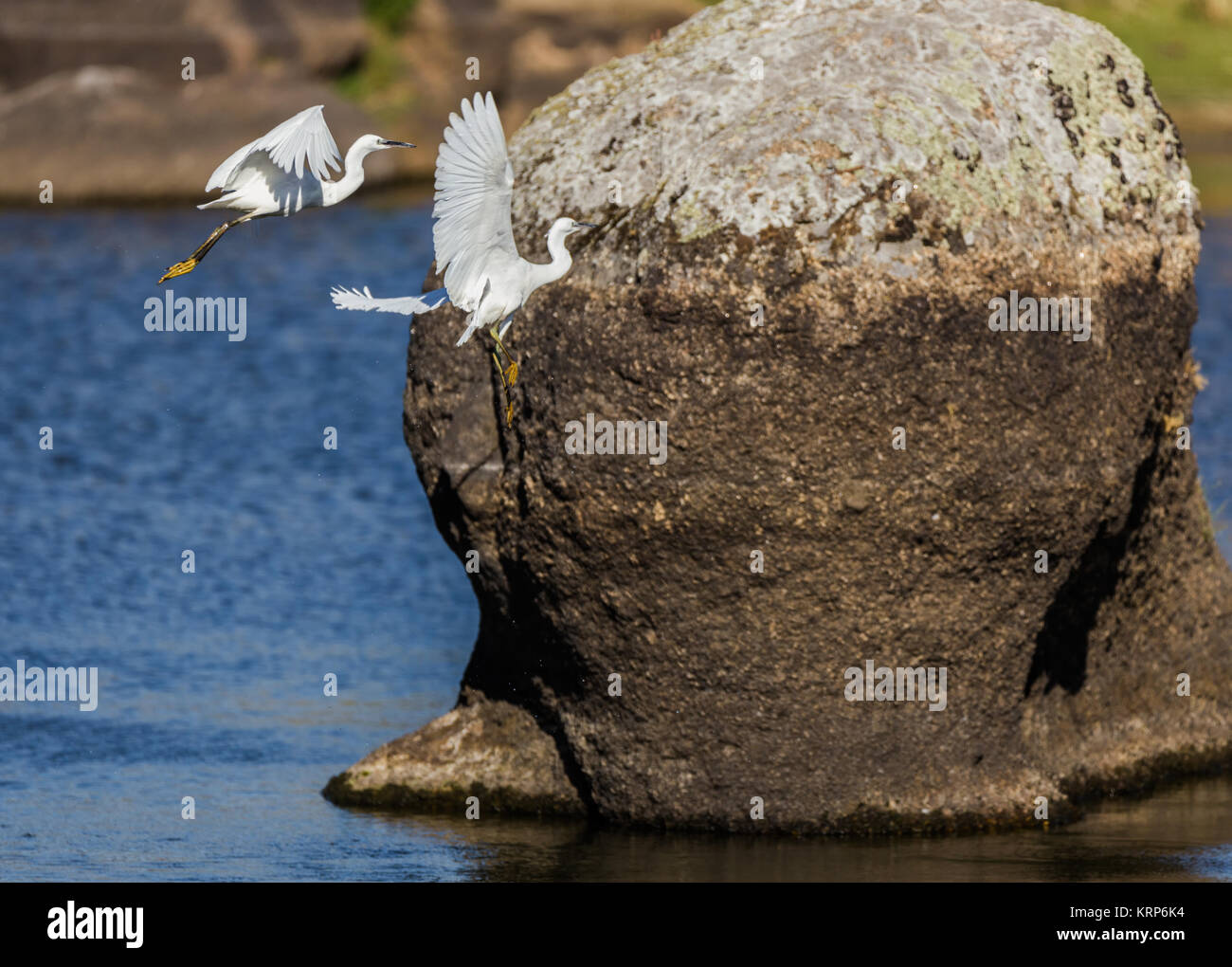 Dos garzas fotografiados en su entorno natural. Imagen De Stock