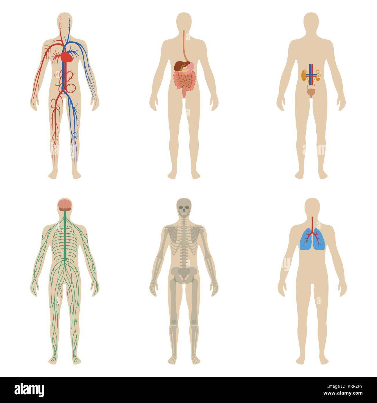 Human Digestive Systems Imágenes De Stock & Human Digestive Systems ...