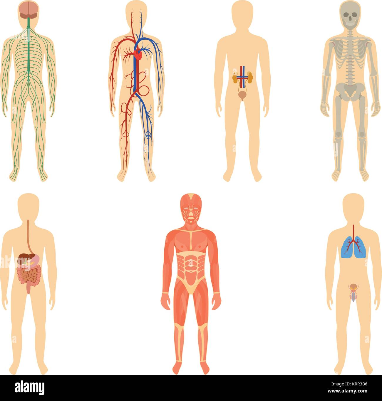 Conjunto de órganos y sistemas humanos de la vitalidad del cuerpo ...