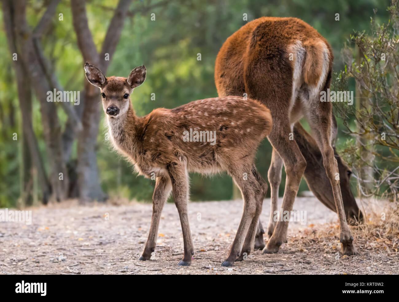 Pequeña doe fotografiados en el Parque Nacional de Monfragüe. España. Imagen De Stock