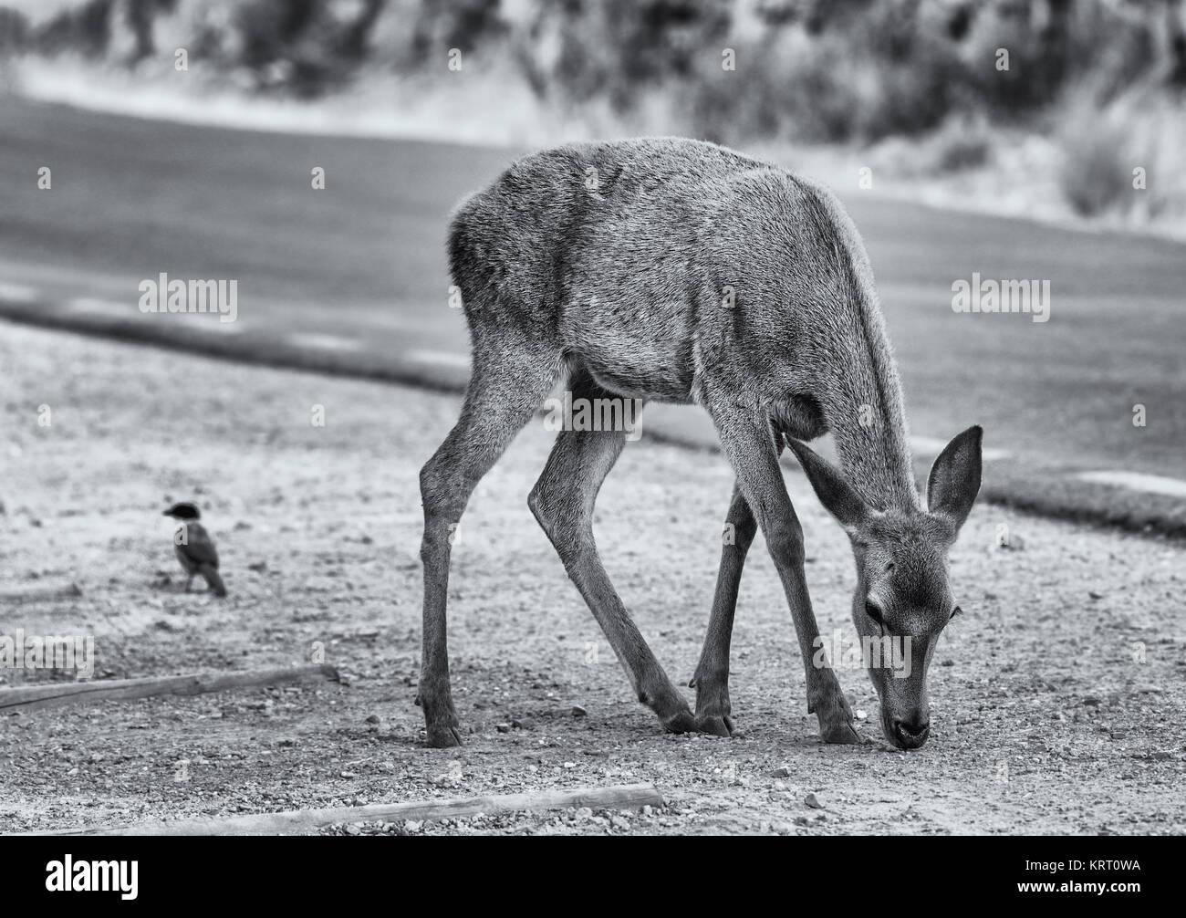 Leonado fotografiado en el Parque Nacional de Monfragüe. España. Imagen De Stock
