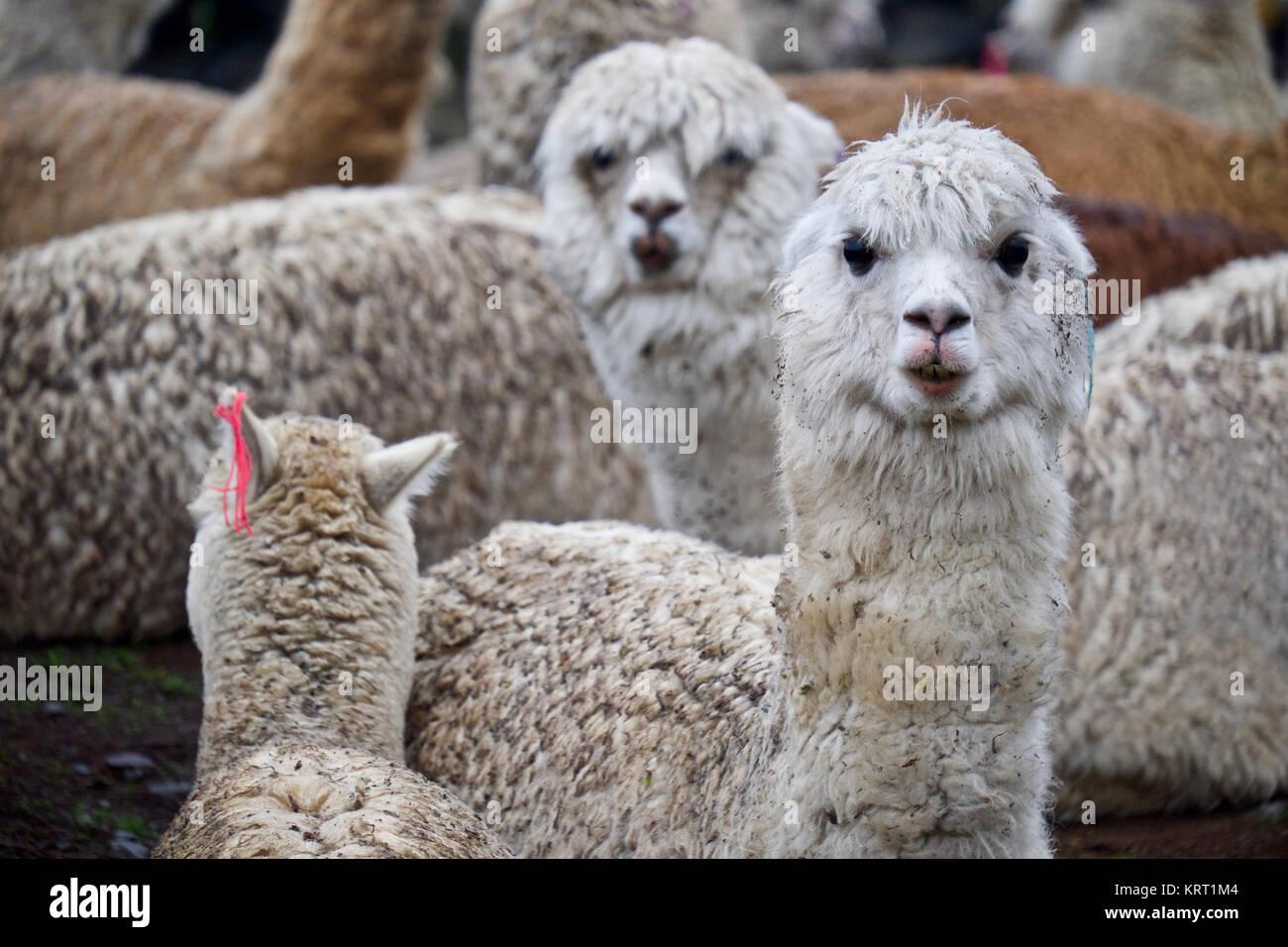 Rebaño de alpacas en Q'ero aldea en los Andes cerca del Valle Sagrado. Q'ero se consideran los antepasados espirituales de los Incas que viven en 4300* m de altitud Foto de stock