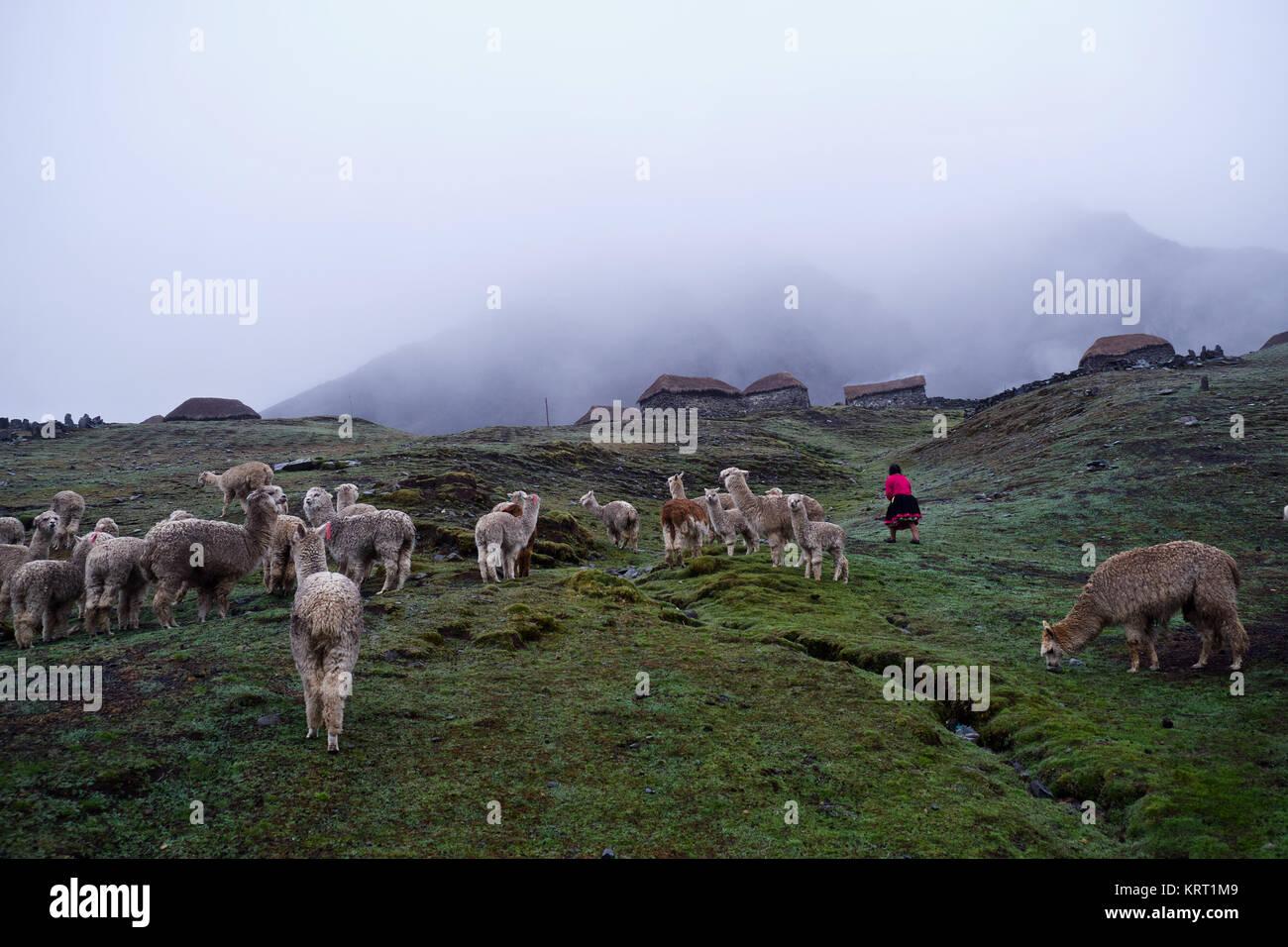 Rebaño de alpacas en Q'ero aldea en los Andes cerca del Valle Sagrado. Q'ero se consideran los antepasados Imagen De Stock