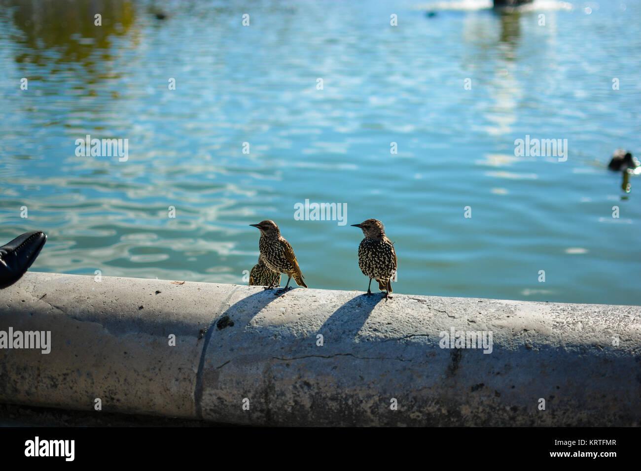 Tres estorninos europeos lounge en el Grand Bassin Rond, el gran estanque circular en el Jardin des Tuilleries en París Francia Foto de stock