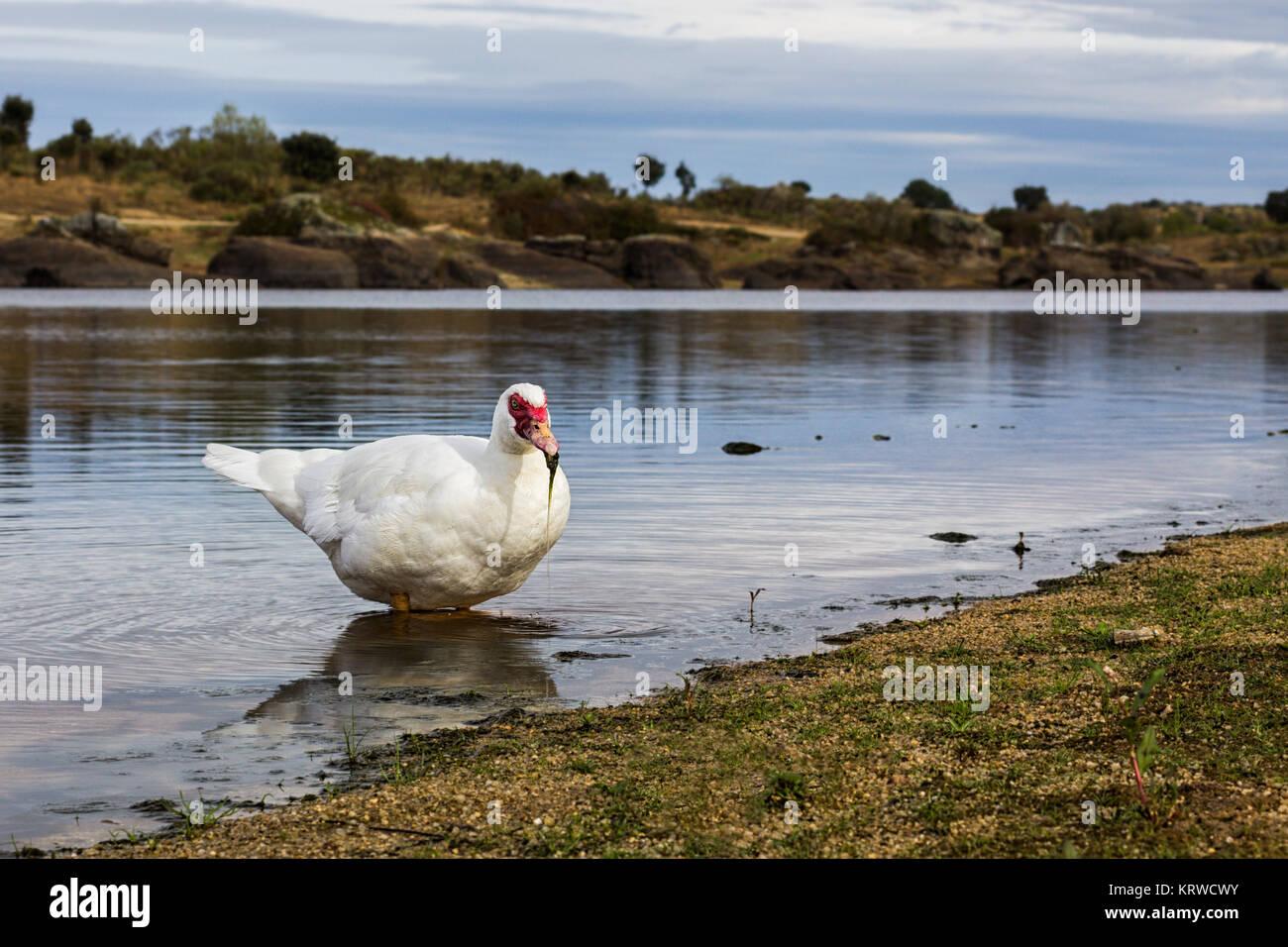 Pato fotografiados en su entorno natural. Imagen De Stock