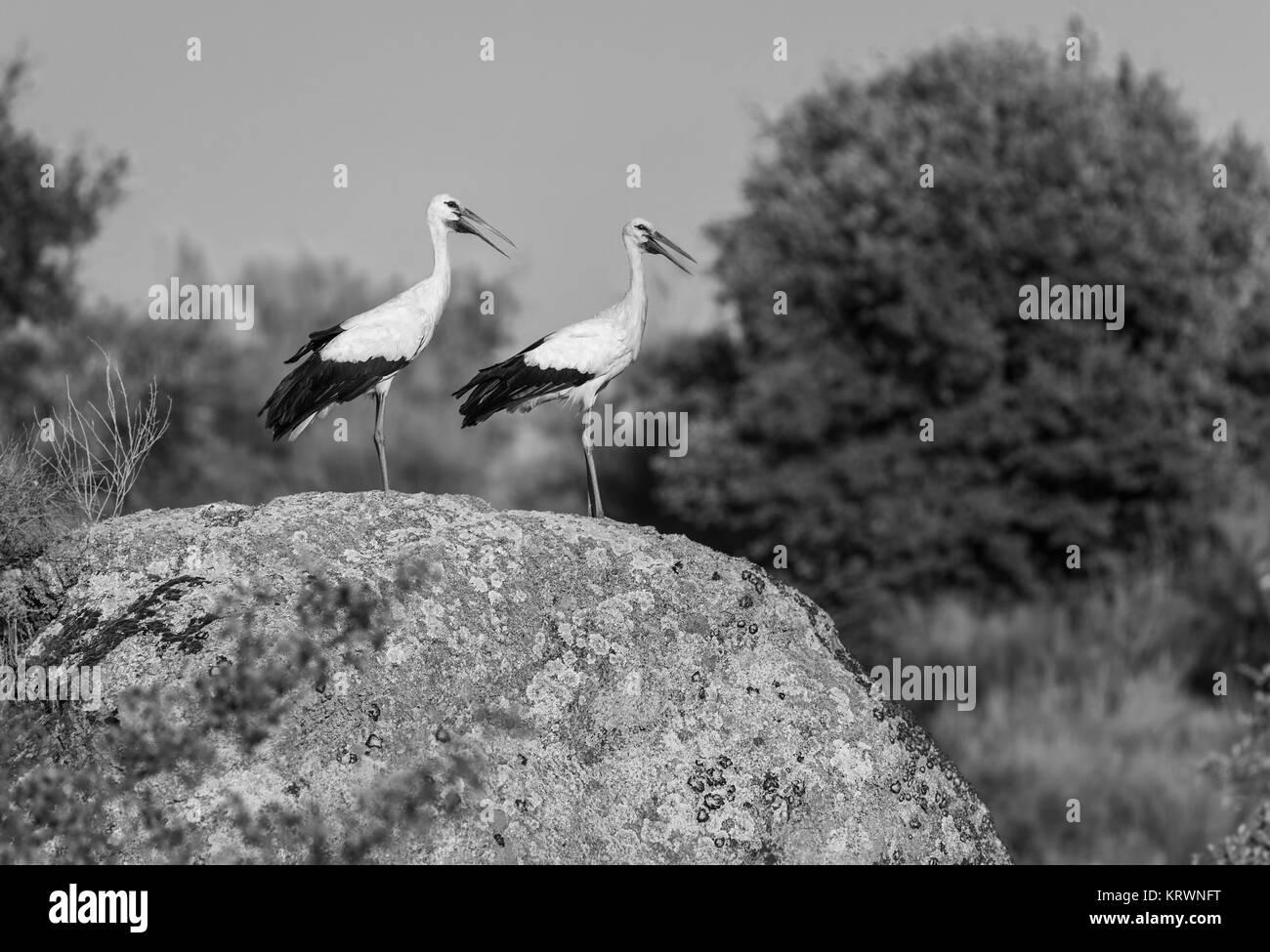 Cigüeñas fotografiados en su entorno natural. Imagen De Stock