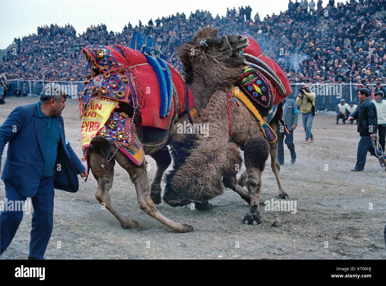 Los hombres turcos o turcos y vestidos de camellos o la lucha de camellos se reúnen para el Festival de lucha Imagen De Stock