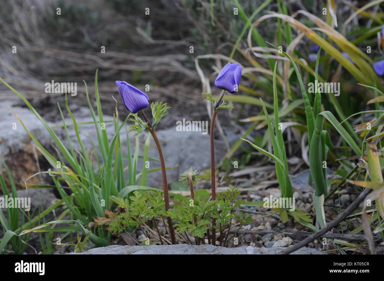 Anémona es un género de unas 200 especies de plantas con flores en ...