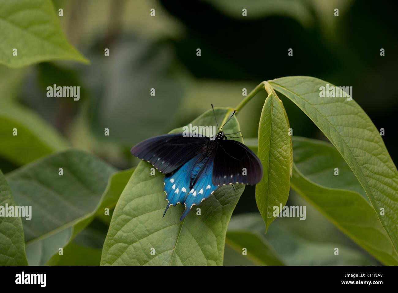 Especie (Battus philenor Pipevine) Foto de stock