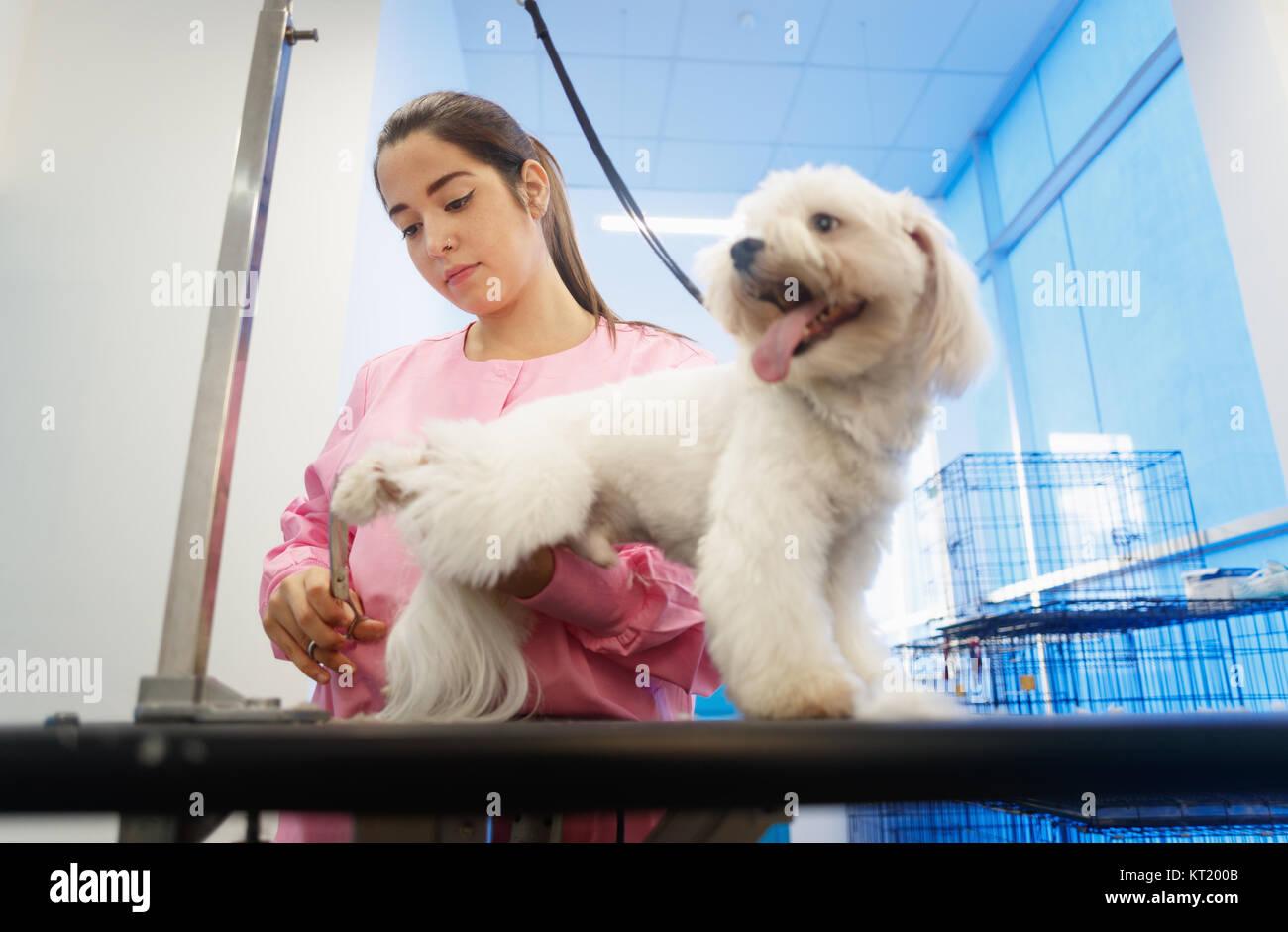 Joven que trabaja en la tienda de mascotas, recortar el pelo del perro, girl grooming puppy de la belleza en la Foto de stock