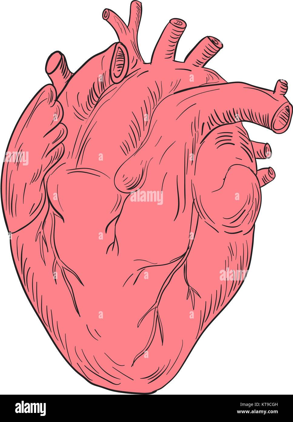 Dibujo de la anatomía del corazón humano Foto & Imagen De Stock ...
