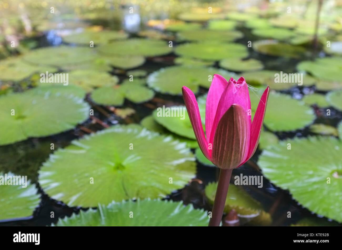 De nenfar y nenfares en un estanque artificial en el George Brown