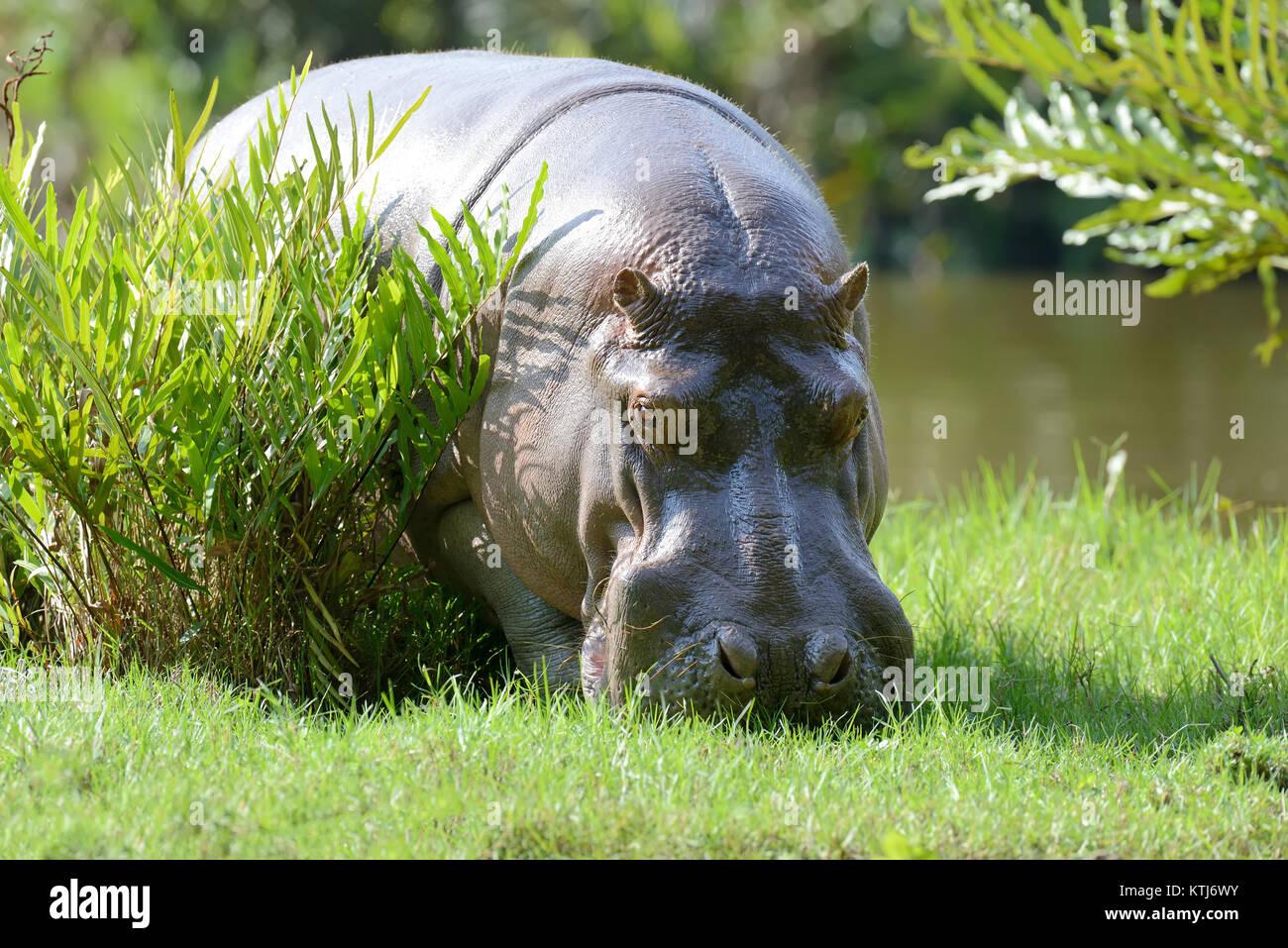 Gran hippo en parque nacional de Kenya, Africa. Imagen De Stock